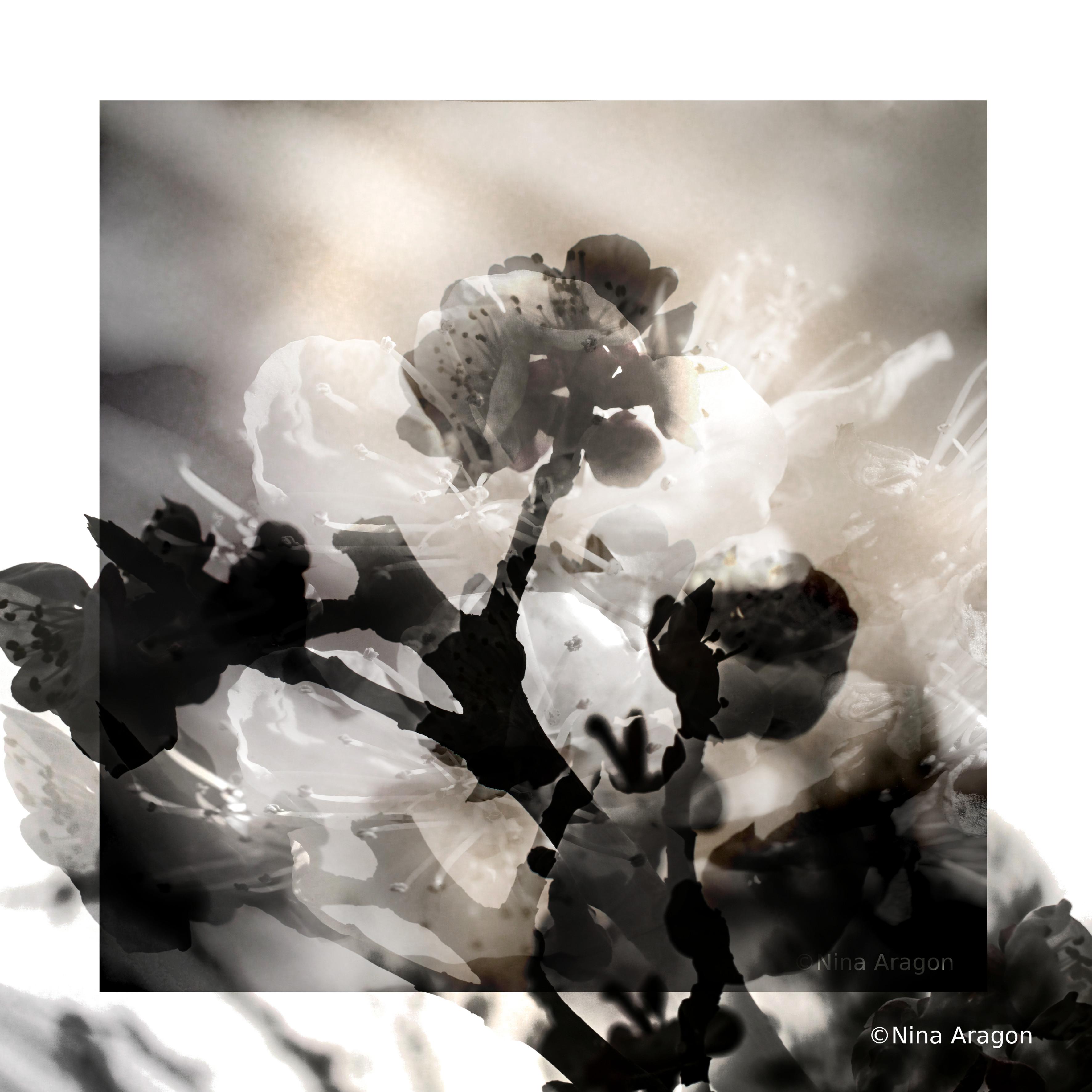 fleurs , amandiers, blanc et noir , photo  art